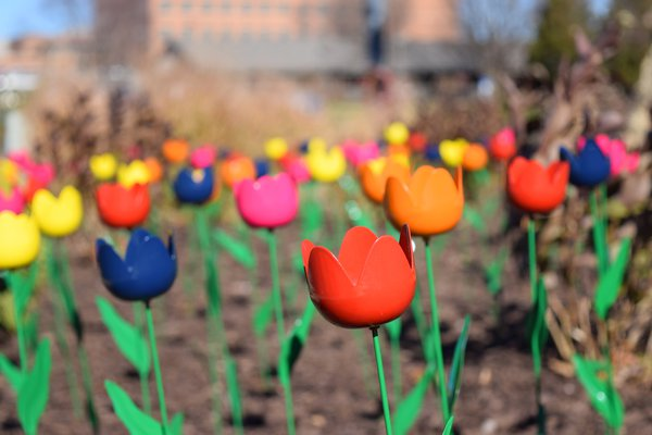 The photo shows some of the metal tulips at Cox South.