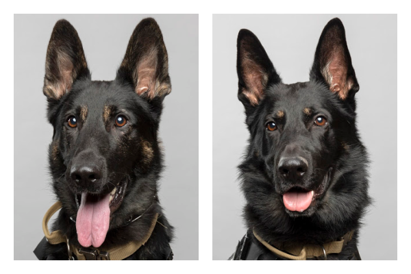 A collage shows K9 officers Hugo and Ackley.